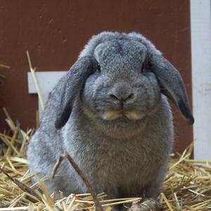 verbliebener hoden im bauchraum kaninchen
