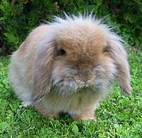 zwergwidder kaninchen nhd 26 rassen pflege charakter. Black Bedroom Furniture Sets. Home Design Ideas